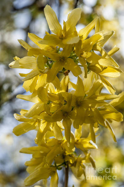 Wall Art - Photograph - Backlit Forsythia by Donald Davis