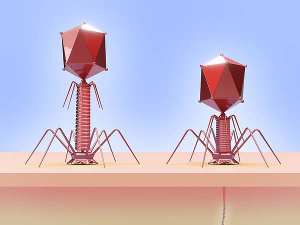 Genetic Material Photograph - Bacteriophage Infecting E. Coli Bacterium by Maurizio De Angelis