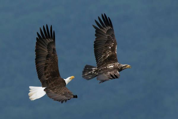 Wall Art - Photograph - Bald Eagle Flight by Ken Archer