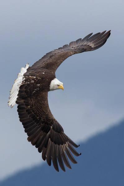 Wall Art - Photograph - Bald Eagle Flying by Ken Archer
