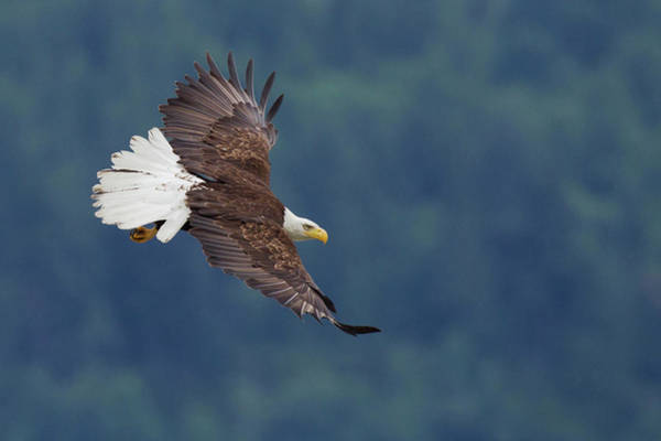 Haliaeetus Leucocephalus Photograph - Bald Eagle In Flight by Ken Archer