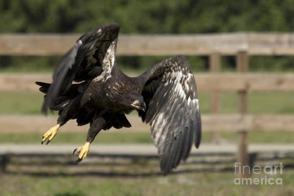 Photograph - Bald Eagle In Flight Photo by Meg Rousher