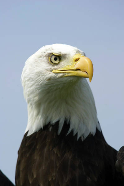 Falconiformes Photograph - Bald Eagle by John Devries/science Photo Library