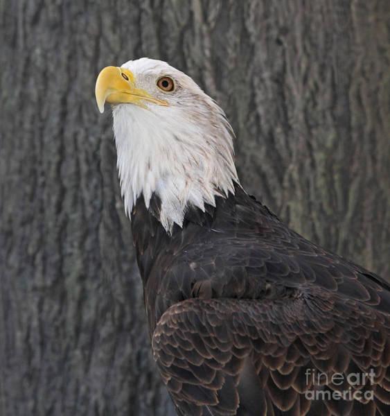 Photograph - Bald Eagle Portrait by Kevin McCarthy