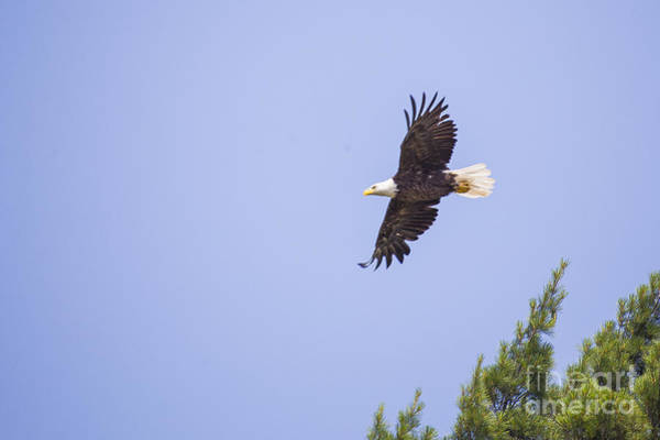 Flying Eagle Photograph - Bald Eagle by Twenty Two North Photography