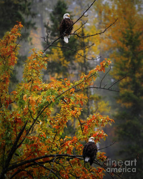 Wall Art - Photograph - 2 Bald Eagles In Fall Colors by Scarlett Images Photography