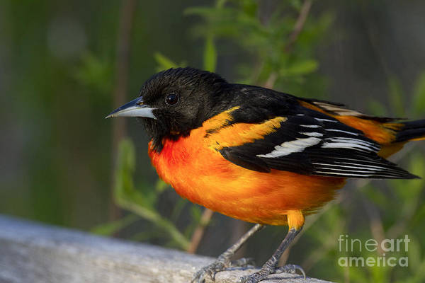 Photograph - Baltimore Oriole by Linda Freshwaters Arndt