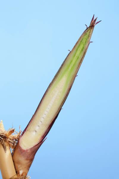 Bamboo Shoots Photograph - Bamboo (phyllostachys Decora) Shoot by Pascal Goetgheluck/science Photo Library
