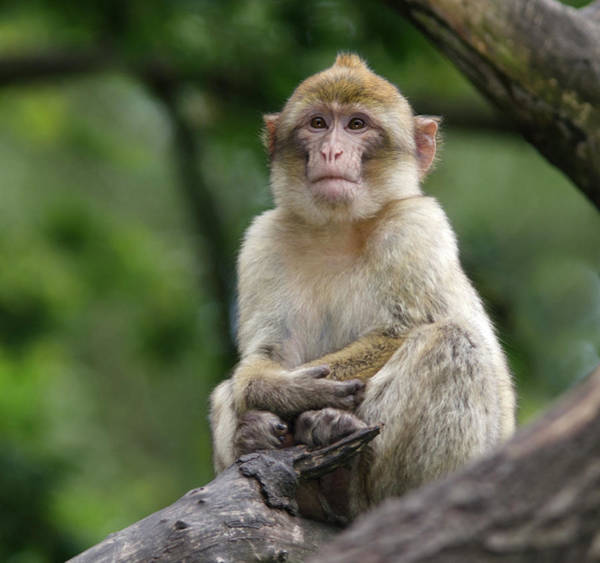 Animal Behaviour Photograph - Barbary Macaque by Nigel Downer