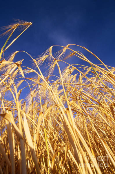 Photograph - Barley In Idaho by William H Mullins