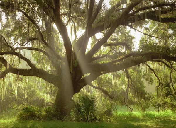 Wall Art - Photograph - Beautiful Southern Live Oak Tree by Maresa Pryor