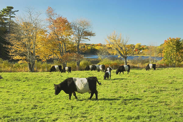 Galloway Wall Art - Photograph - Belted Galloway Cows Grazing On Grass In Rockport Farm Fall Main by Keith Webber Jr