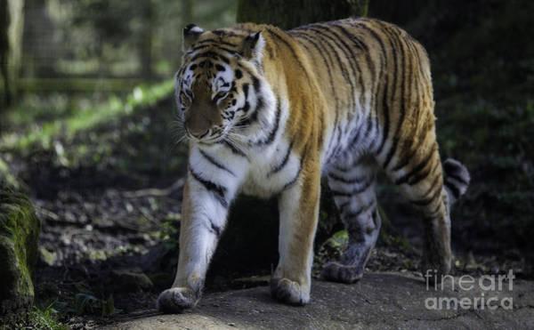 Bengal Photograph - Bengal Tiger by Nigel Jones