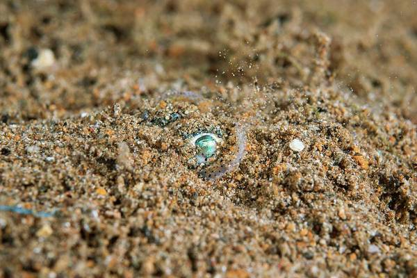Wall Art - Photograph - Berry's Bobtail Squid by Scubazoo/science Photo Library