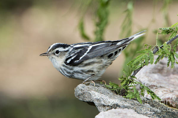 Parulidae Photograph - Black-and-white Warbler by Anthony Mercieca