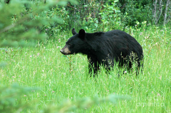 Photograph - 555p Black Bear by NightVisions