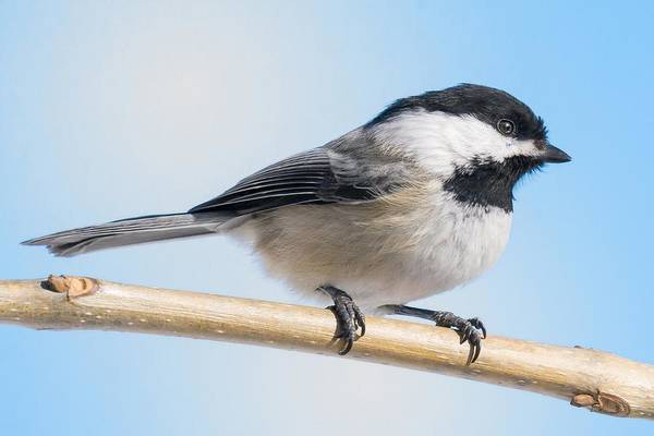 Photograph - Black-capped Chickadee by Jim Hughes