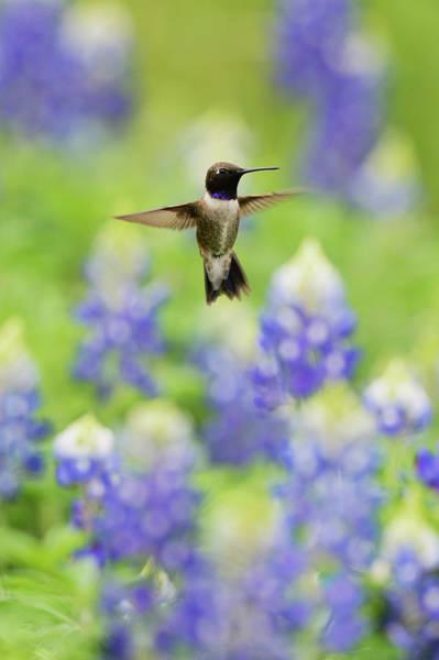 Wall Art - Photograph - Black-chinned Hummingbird (archilochus by Rolf Nussbaumer