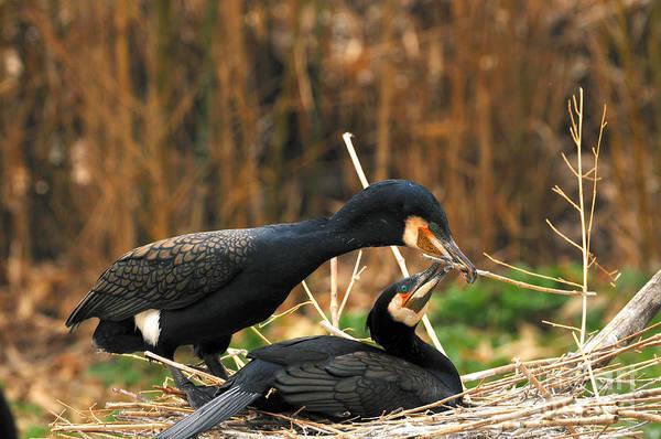 Reiner Photograph - Black Cormorant Pair by Reiner Bernhardt