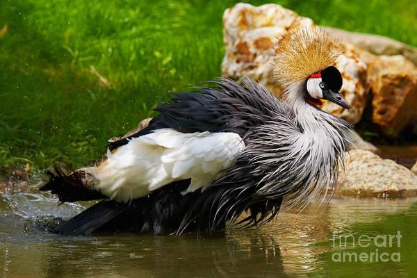 Photograph - Black Crowned Crane by Nick  Biemans