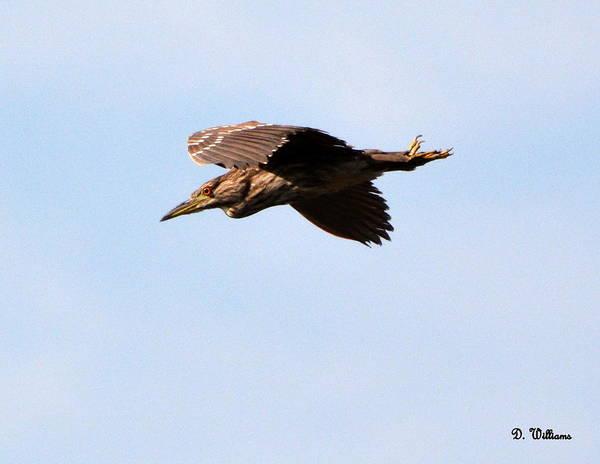 Photograph - Black-crowned Night Heron by Dan Williams
