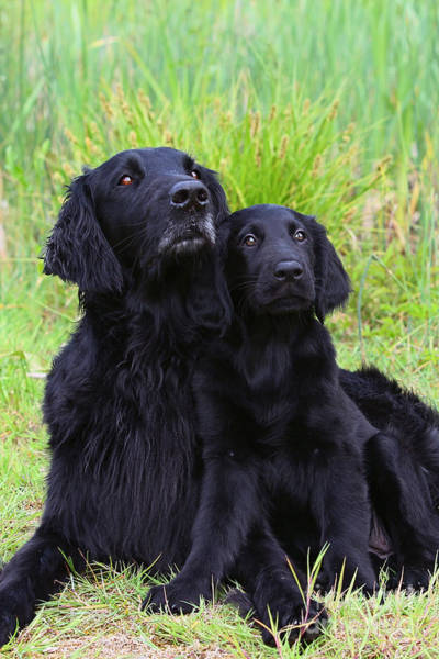 Wiese Wall Art - Photograph - Black Flat Coated Retriever With Puppy by Dog Photos