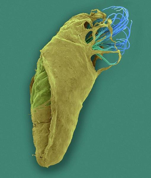 Body Piercing Photograph - Black Fly Pupa by Dennis Kunkel Microscopy/science Photo Library