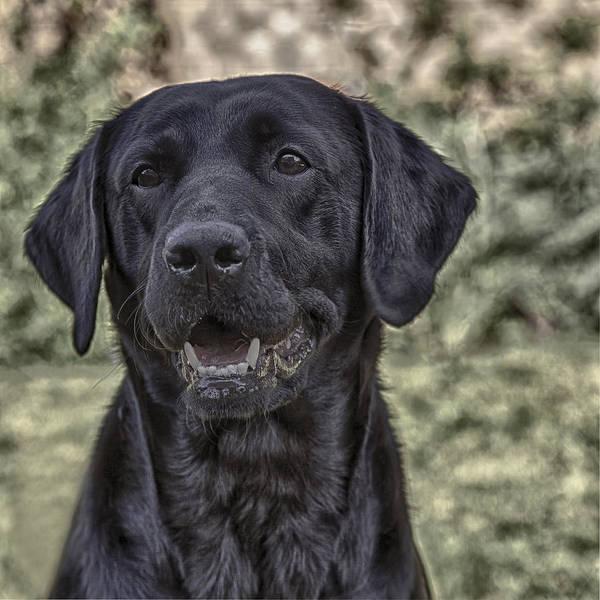 Labrador Photograph - Black Labrador by Nigel Jones