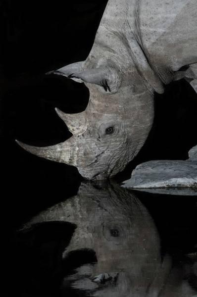 Black Rhinoceros At Night Art Print by Tony Camacho/science Photo Library