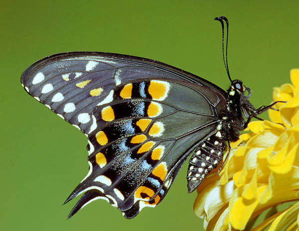 Papilio Polyxenes Photograph - Black Swallowtail Butterfly by Millard H. Sharp
