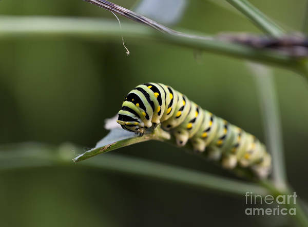 Papilio Polyxenes Wall Art - Photograph - Black Swallowtail Caterpillar Macro On A Leaf by Brandon Alms