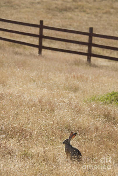 Photograph - Black-tailed Jackrabbit by Dan Suzio
