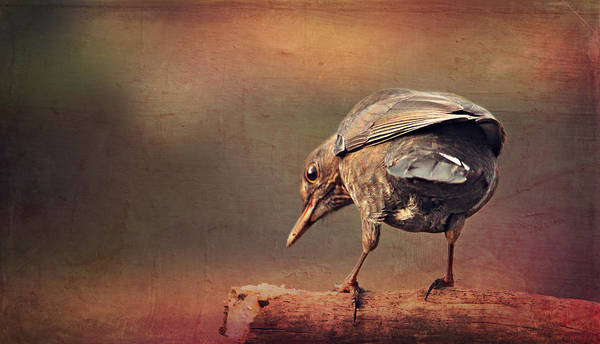 Fauna Mixed Media - Blackbird by Heike Hultsch