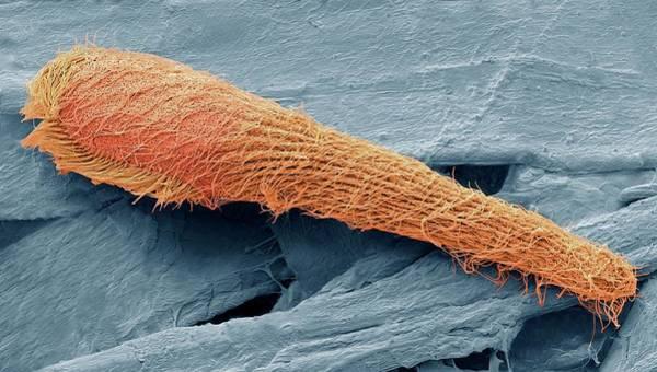 Buccal Wall Art - Photograph - Blepharisma Ciliate Protozoan by Steve Gschmeissner