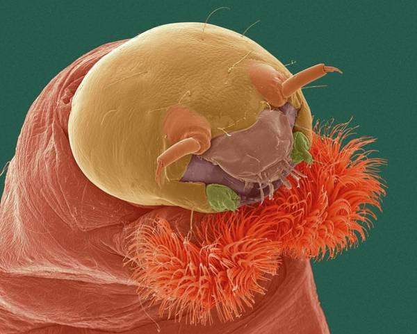 Midge Photograph - Bloodworm Head by Dennis Kunkel Microscopy/science Photo Library