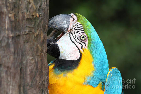 Photograph - Blue And Yellow Macaw Portrait by James Brunker