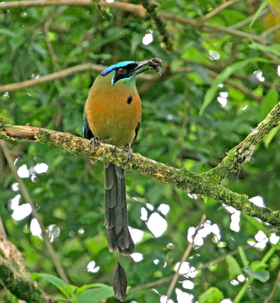 Photograph - Blue-crowned Motmot by Peggy Collins