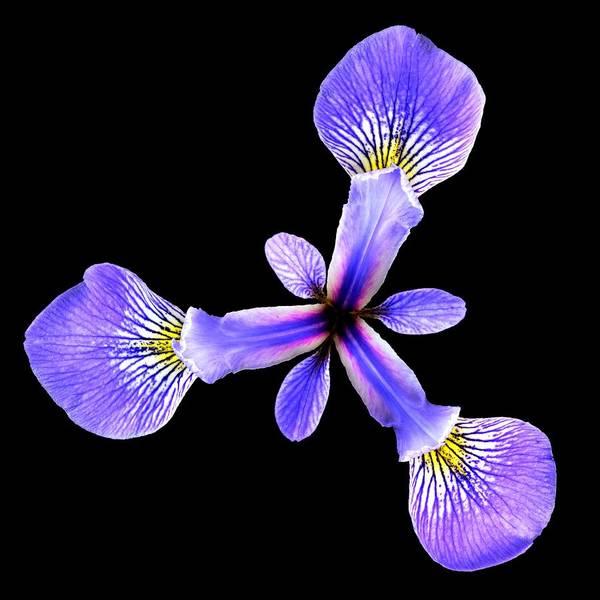 Photograph - Blue Flag Iris by Jim Hughes