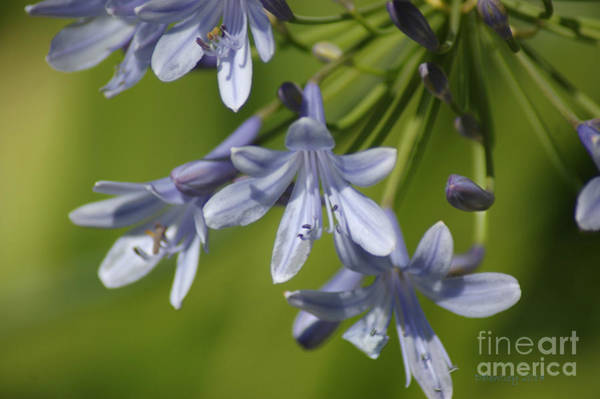 Photograph - Blue Heaven by Donna Bentley