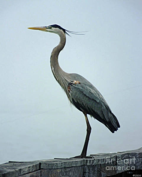 Photograph - Blue Heron by Lizi Beard-Ward