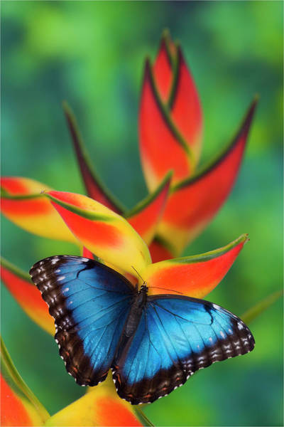 Wall Art - Photograph - Blue Morpho Butterfly Sitting by Darrell Gulin