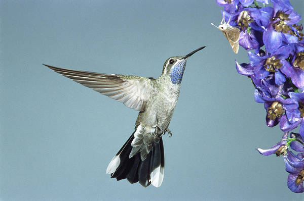 Coronado National Forest Photograph - Blue-throated Hummingbird by Gerald C. Kelley