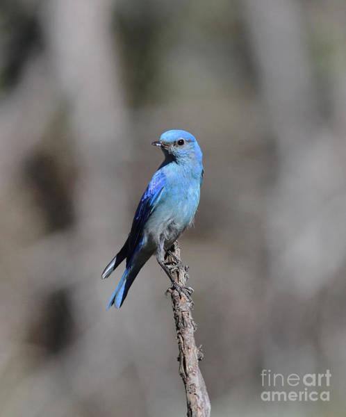 Bluebird Wall Art - Photograph - Bluebird by Gary Wing