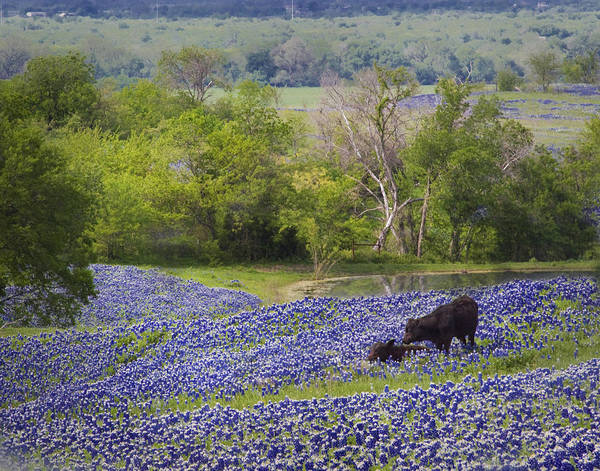 Cow And Calf Wall Art - Photograph - Bluebonnets On The Farm by David and Carol Kelly
