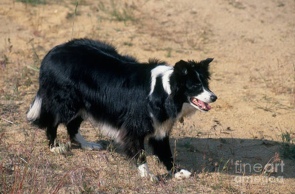 Dog Watch Photograph - Border Collie by William H. Mullins