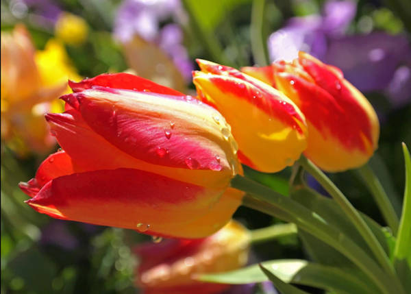 Photograph - Bowing Tulips by Rona Black