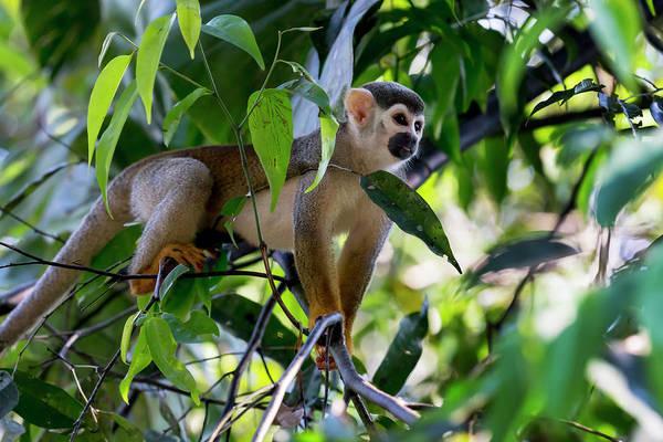 Leaf Monkey Wall Art - Photograph - Brazil, Amazon, Manaus by Ellen Goff