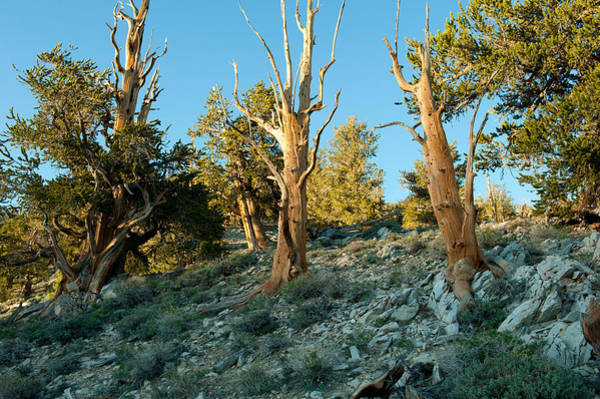 Inyo Mountains Photograph - Bristlecone Pine Grove At Ancient by Panoramic Images