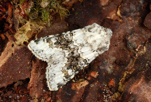 Norfolk Broads Wall Art - Photograph - Broad-barred White Moth by Nigel Downer