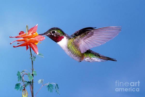Broad-tailed Hummingbird Photograph - Broad-tailed Hummingbird by Anthony Mercieca